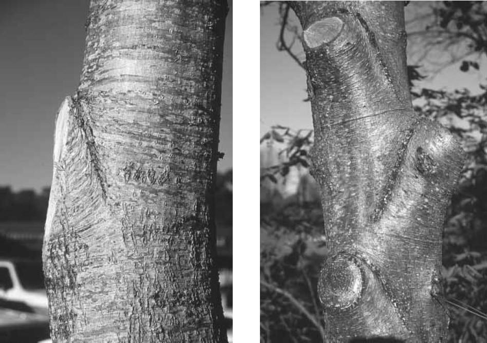 Şekil 6.16 ağaç budama
