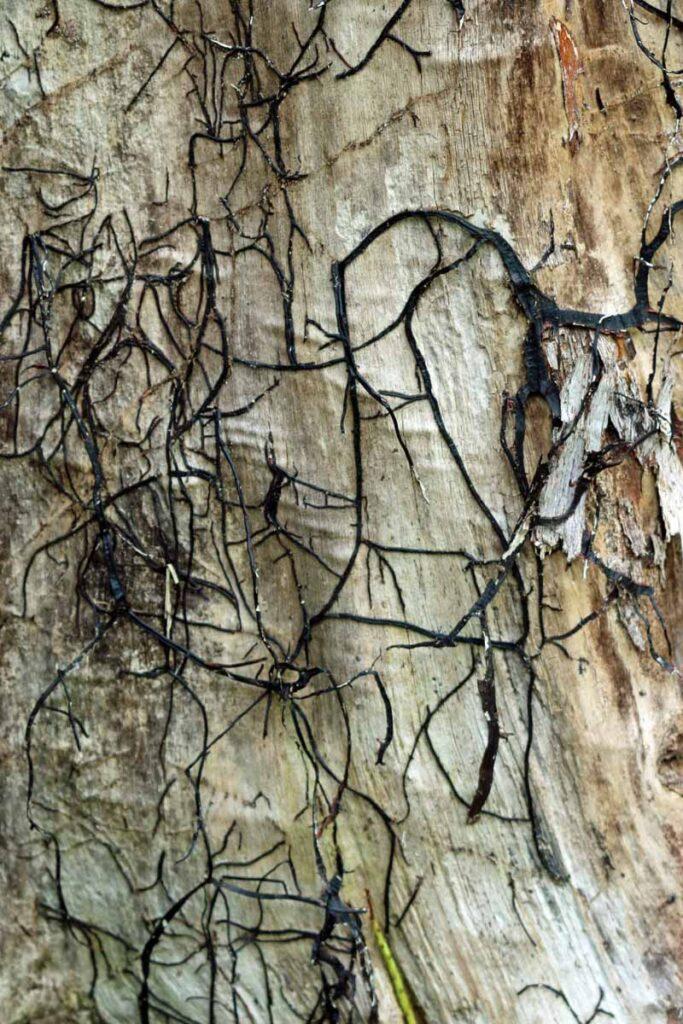 ağaç gövdesi Armillaria rizomoru