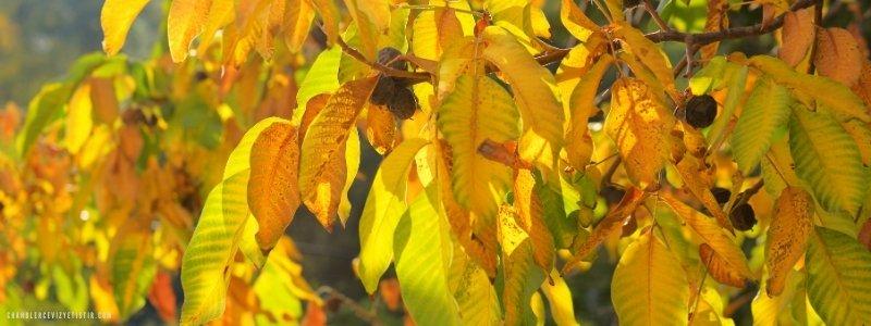 sarı solgun ceviz ağacı