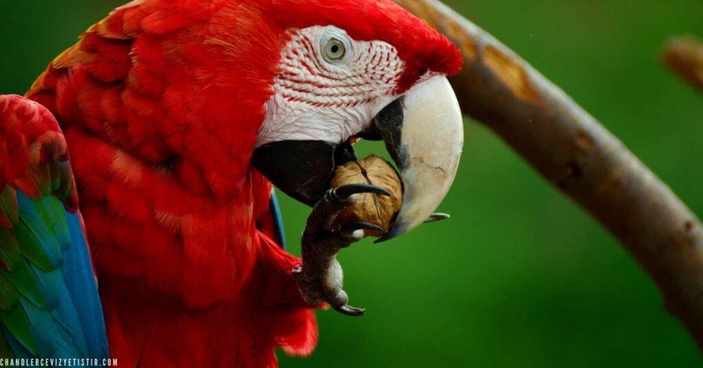 ceviz yiyen kırmızı papağan