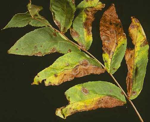 sararmış ceviz yaprak antraknozu