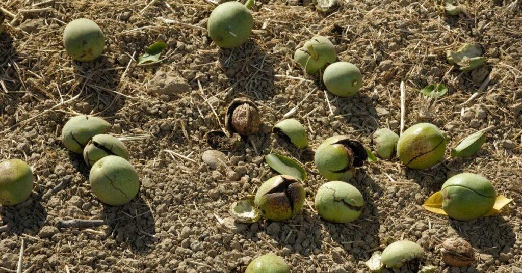 sallanmış ve dökülmüş ceviz hasadı
