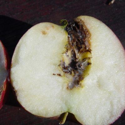 elma-iç-kurdu-zarar-elma-meyvesi