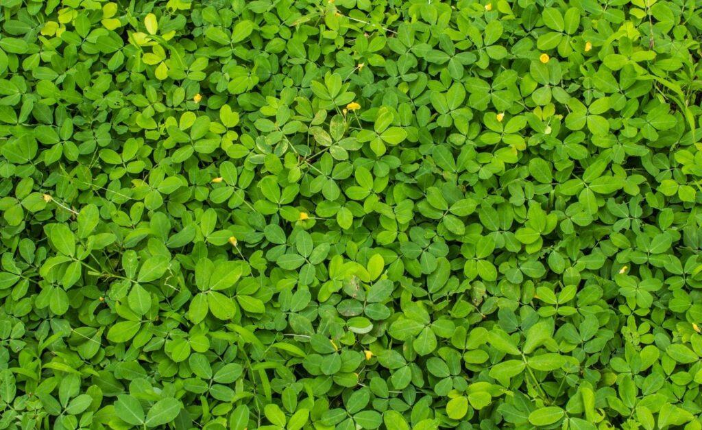 yeşil-örtücü-bitki