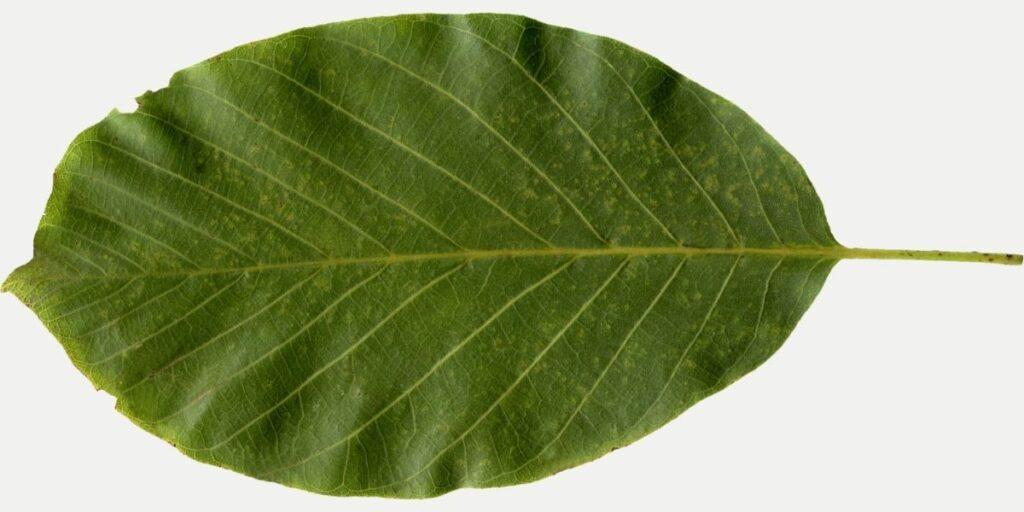 ceviz yaprağı fotoğrafı